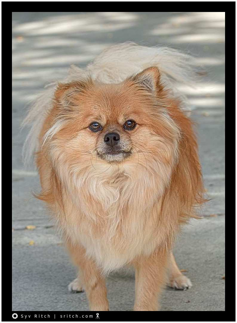 Crash: a Pomeranian Chihuahua mix