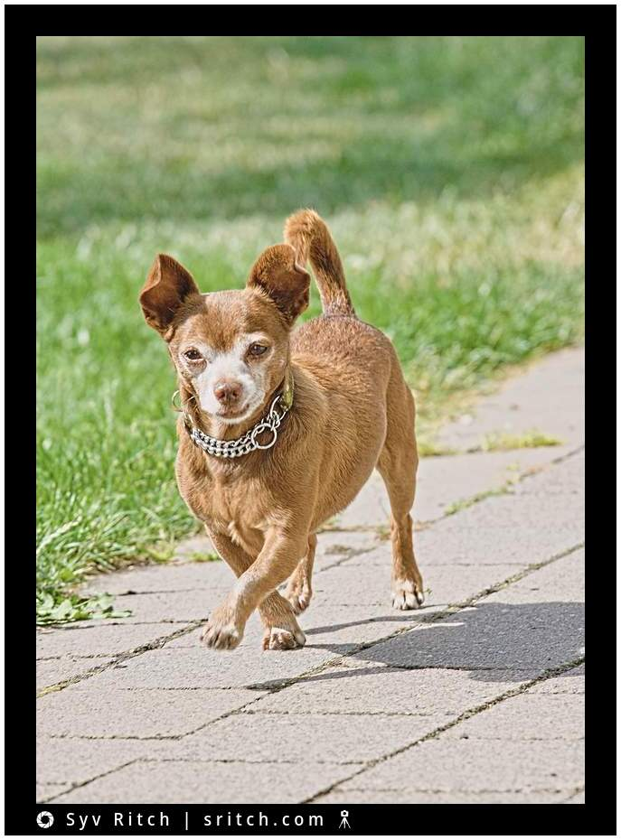 12 years old Chihuahua