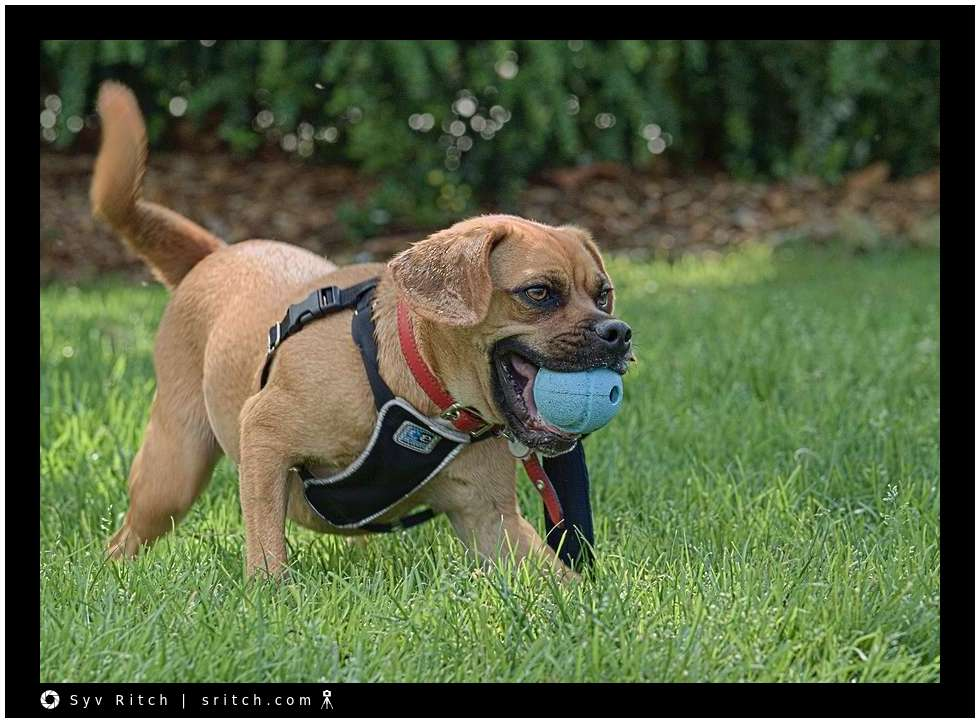 boxer, pitbull mix carrying his ball