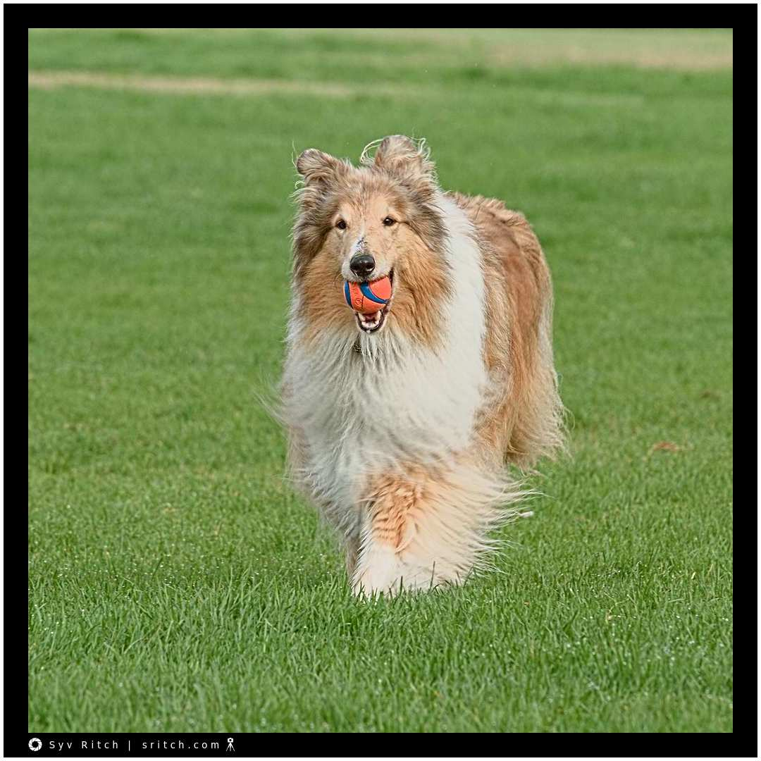 Running Rough Collie
