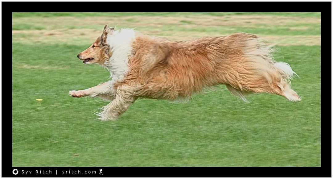 Running Long-Haired Collie