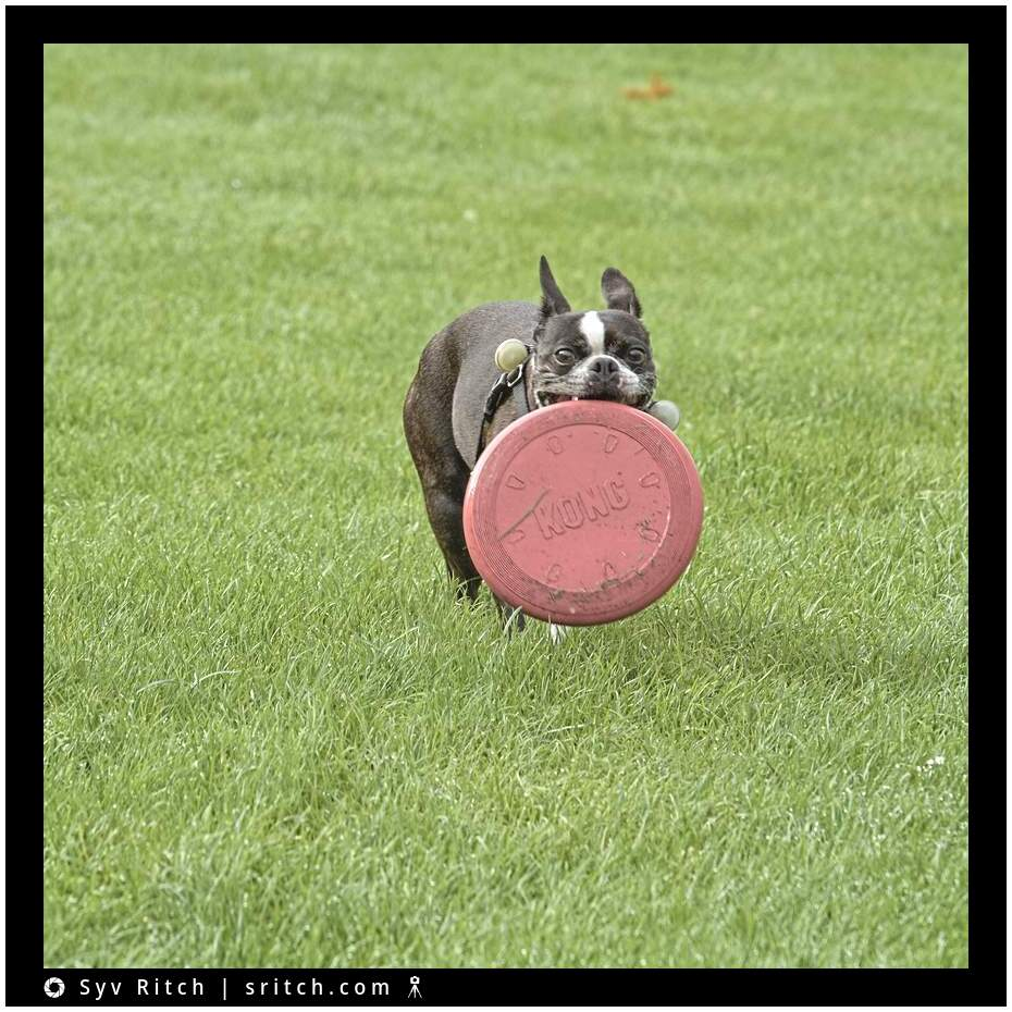 boston terrier with huge frisbee