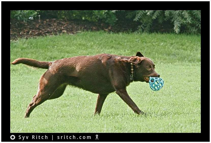 chocolate labrador dog with a Hol-ee ball