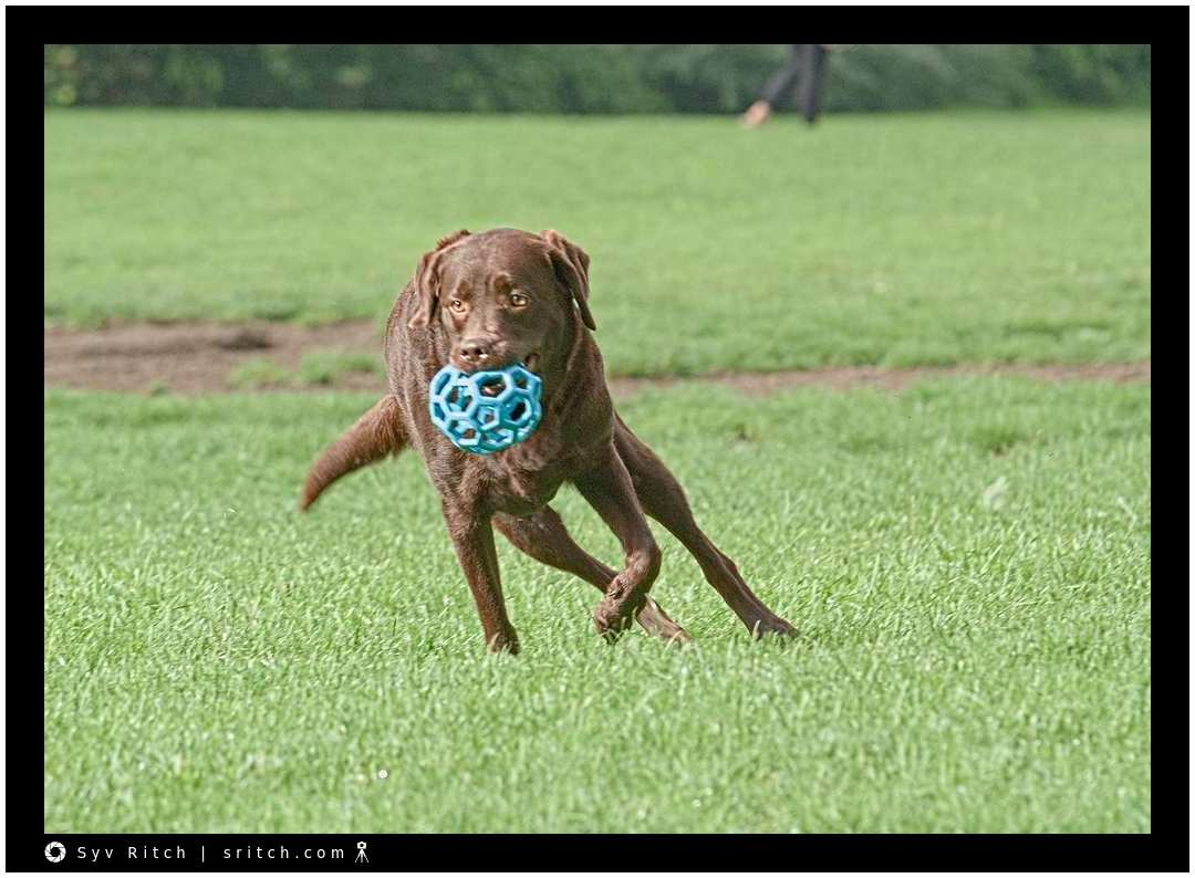 Chocolate Labrador running with his Hol-ee Ball