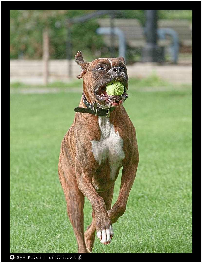 Rusty, a Rambunctious Boxer