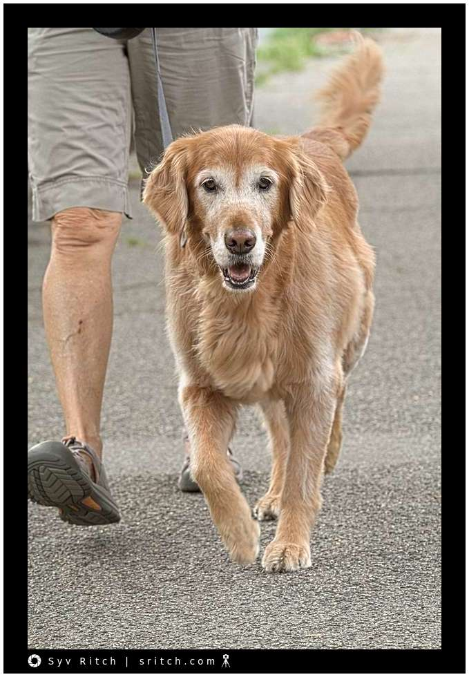 Here is an almost old Golden Retriever