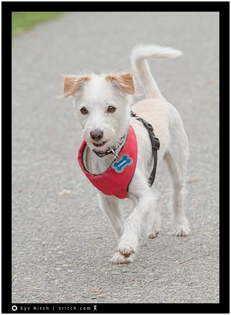 Sidney is a small, comfortable, unafraid and confident dog