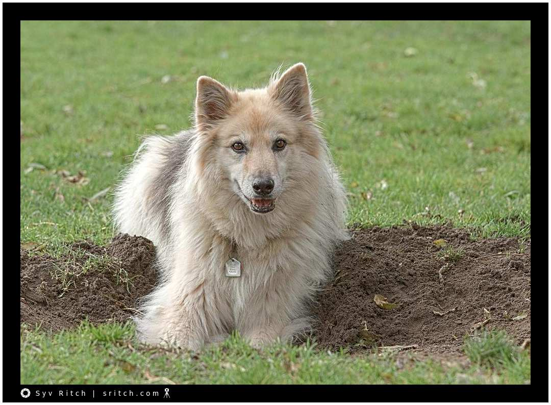 dog proud of himself after digging a hole