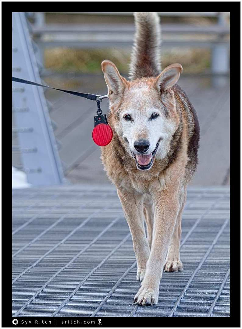 reflector for dogs
