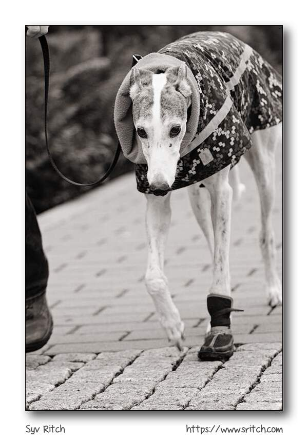 Older Greyhound with foot injury