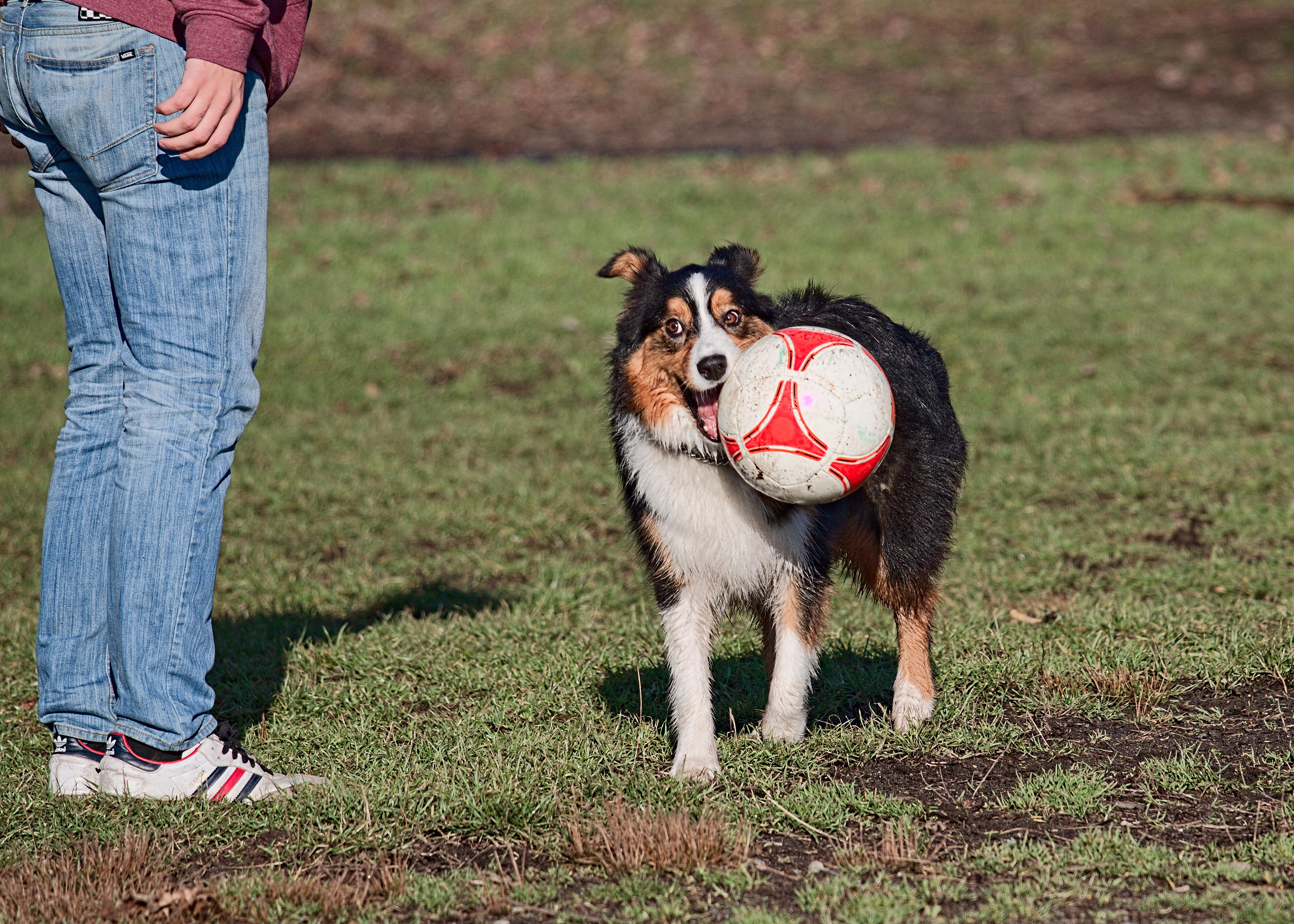 Australian Sheppard carrying soccer ball in his mouth