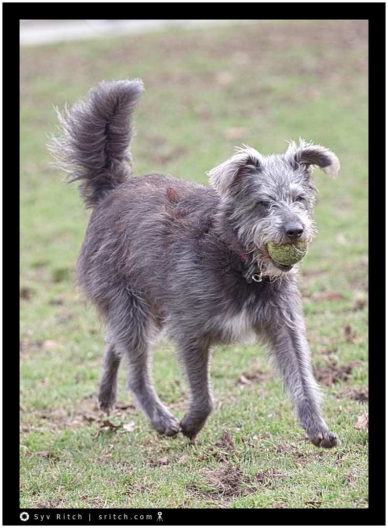 Dog strutting with ball