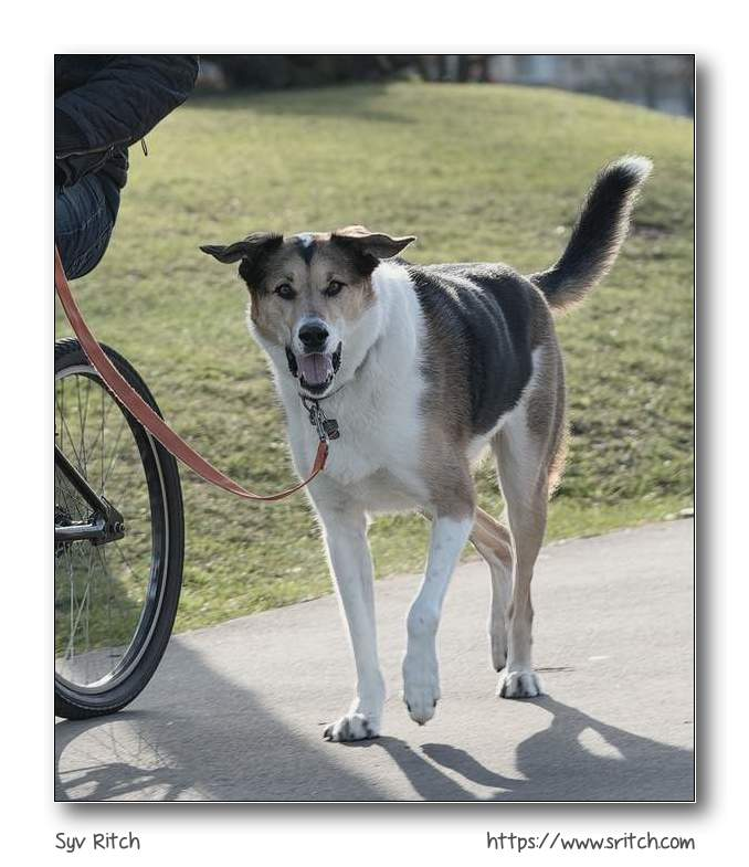 Dog running with his owner while biking