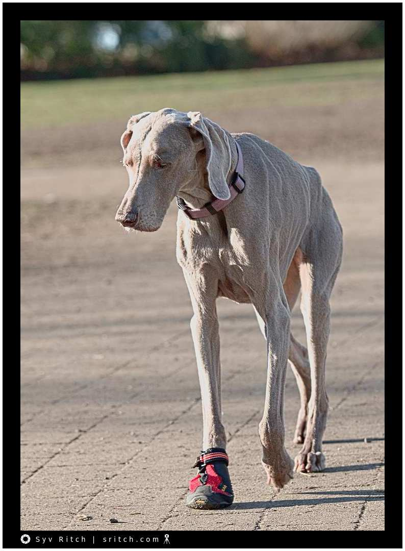 Weimaraner with a boot because he licked his foot too much
