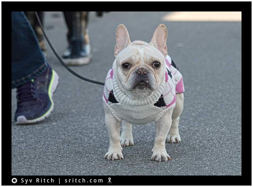 French Bulldog wearing her handmade wool sweater