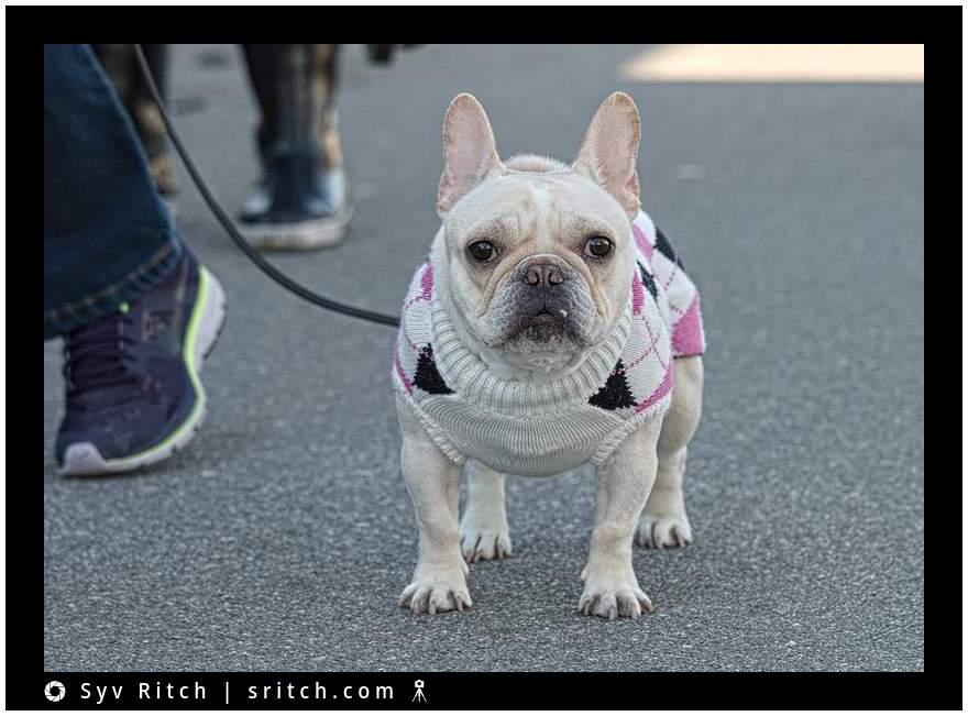 French Bulldog wearing her handmade wool sweater