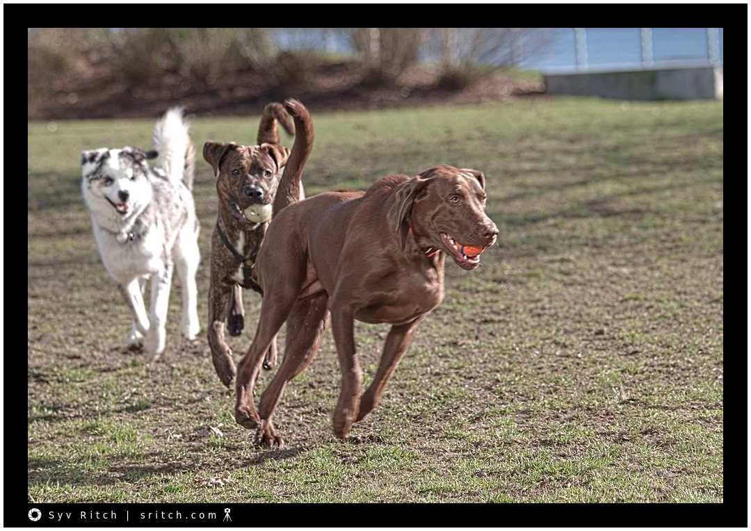 3 dogs running after each other