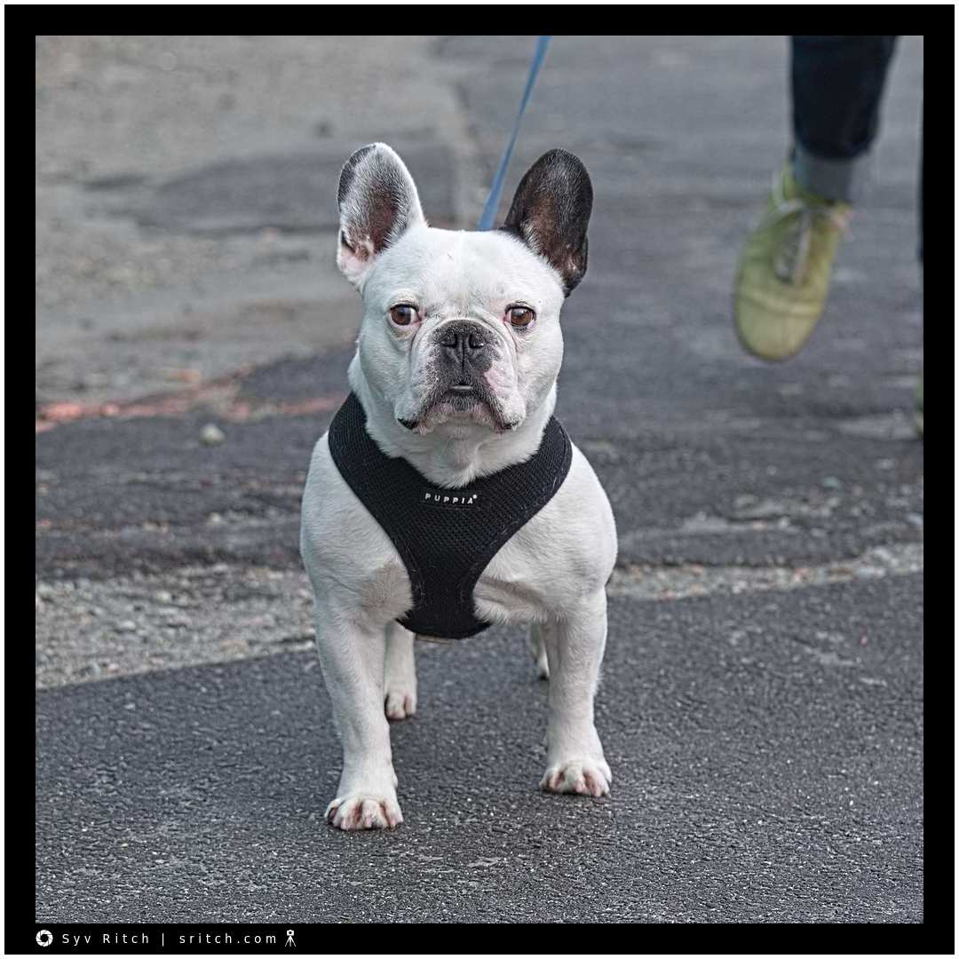 French Bulldog that manages to run around and be a statue at the same time