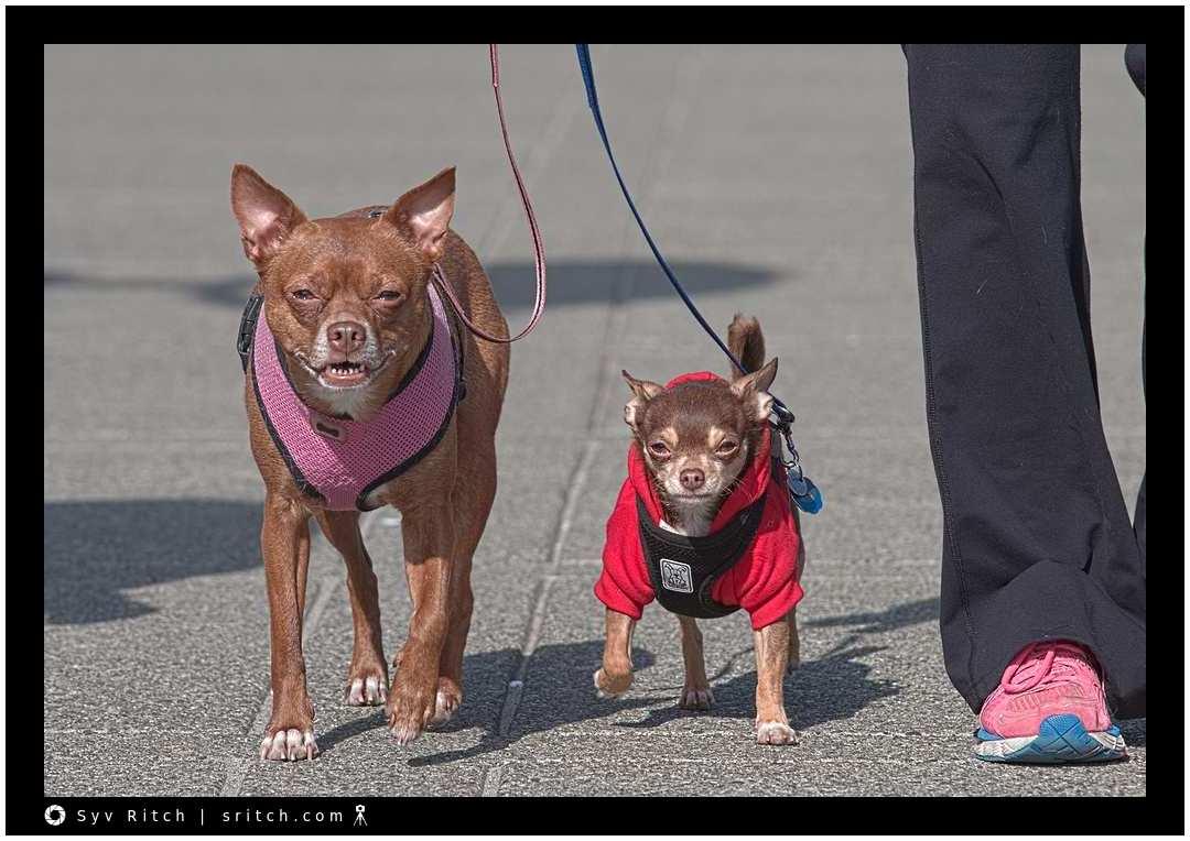 Chihuahuas R Us: Vancouver, BC