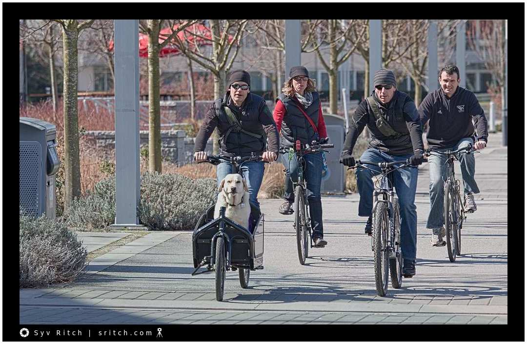 Labrador Retriever in charge of group of cyclists