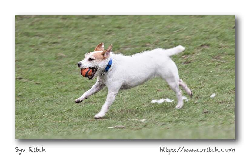 Jack Russell running with ball