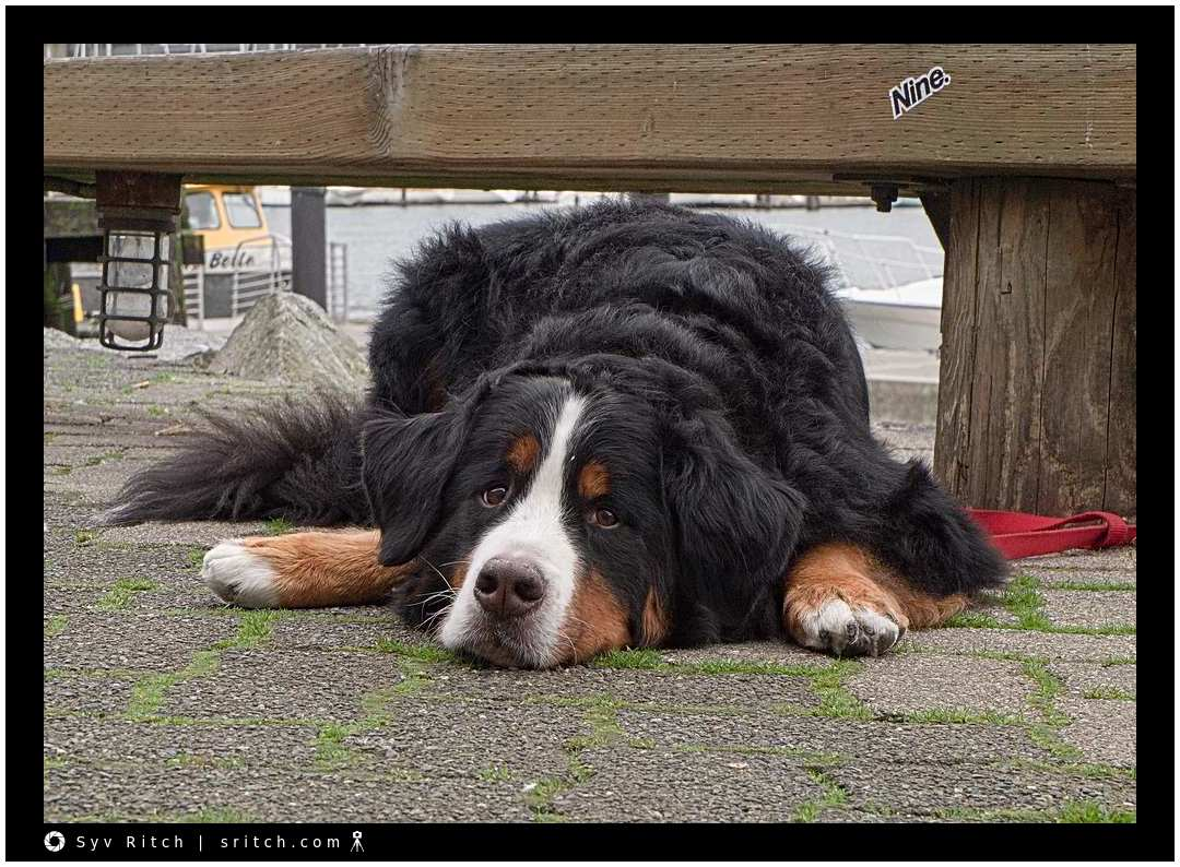 Bernese Mountain Dog tied to a wooden bench at Granville Island Public Market