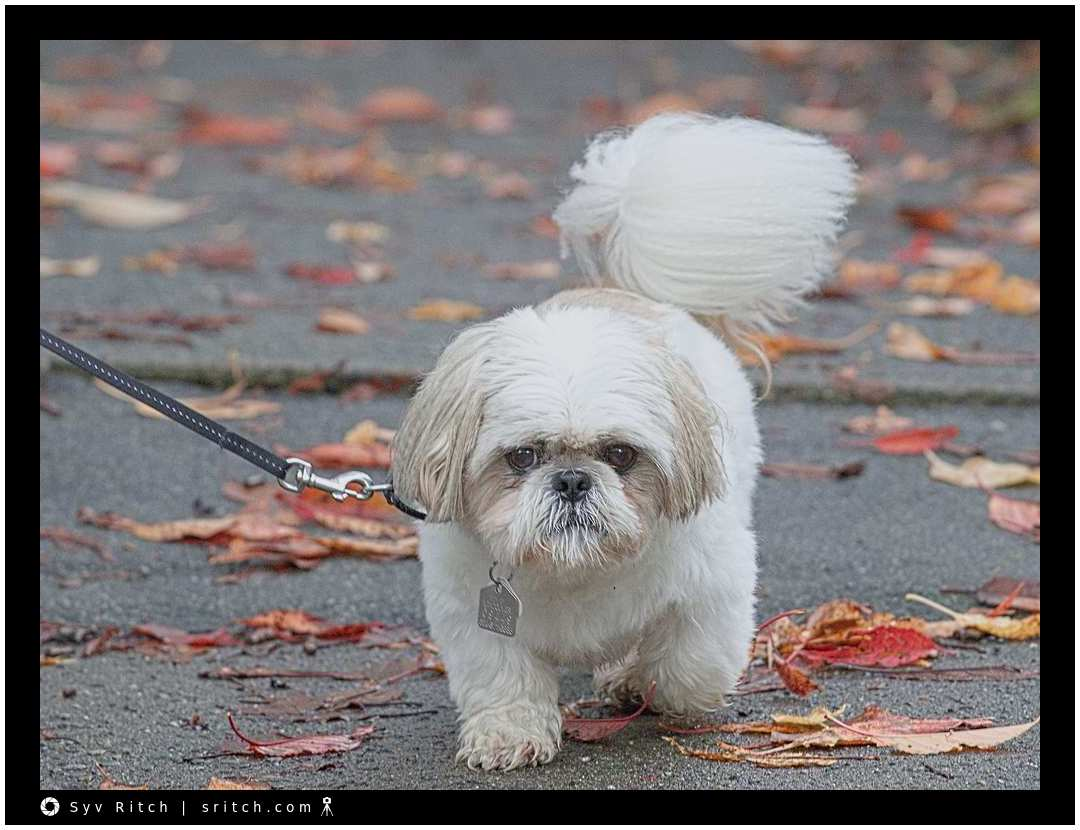 max the mean dog: vancouver, bc - dog photography | vancouver