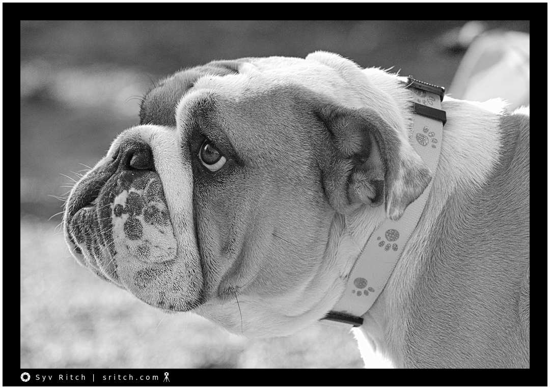 Bulldog, profile view