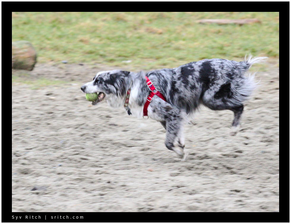 Border Collie running with his kill/ball