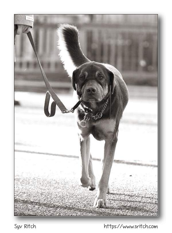 Another dog wearing a halti