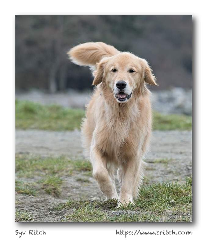 Female Golden Retriever coming to ask me something