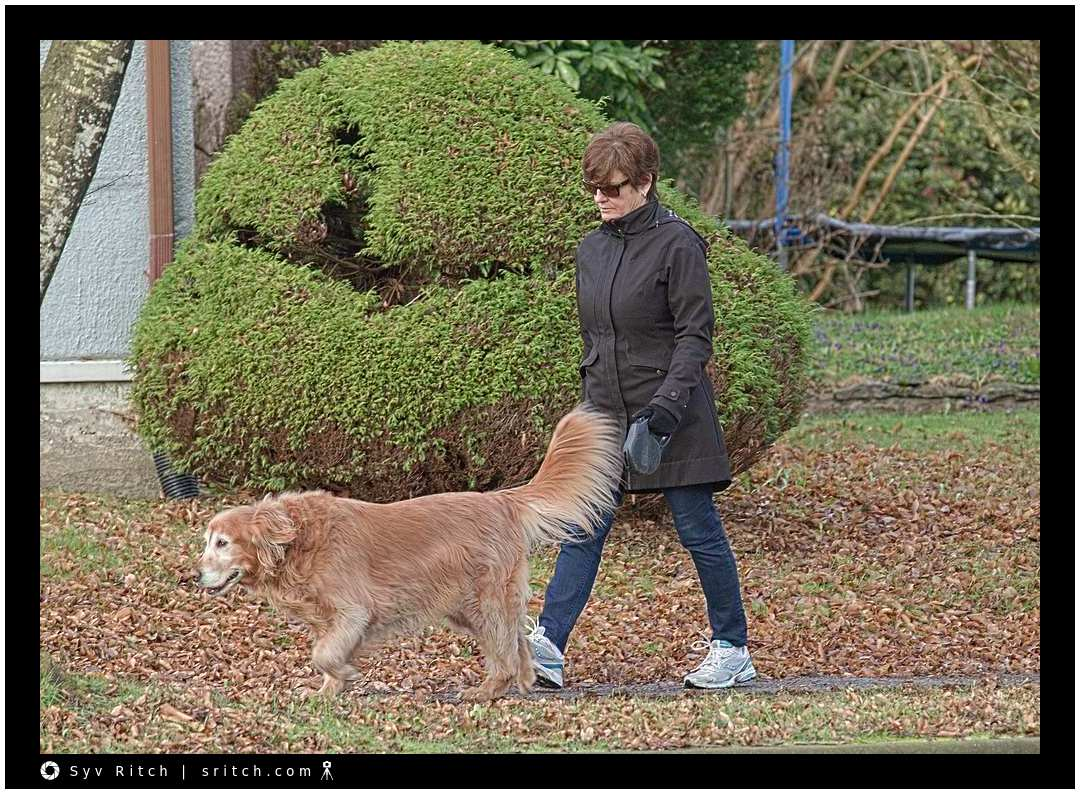 golden retriever walking her owner