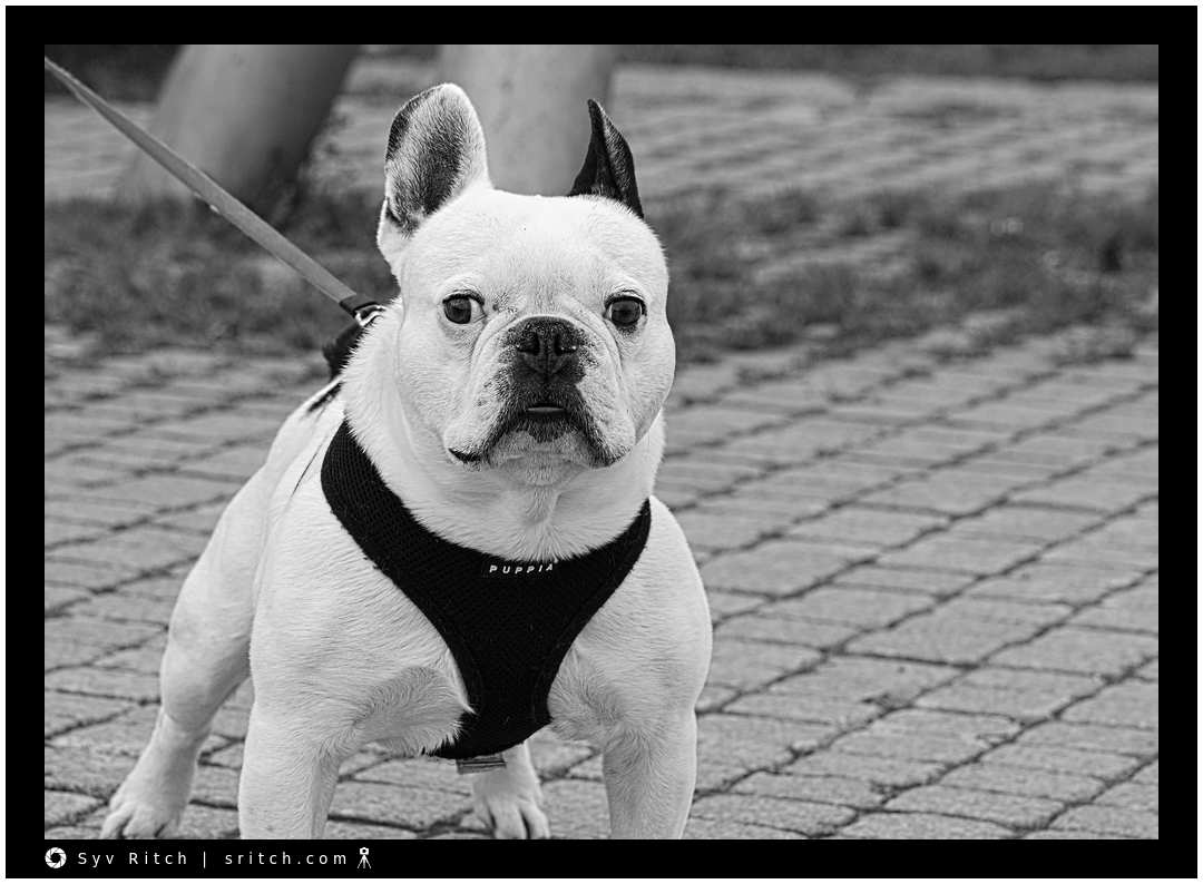 Intrigued French Bulldog