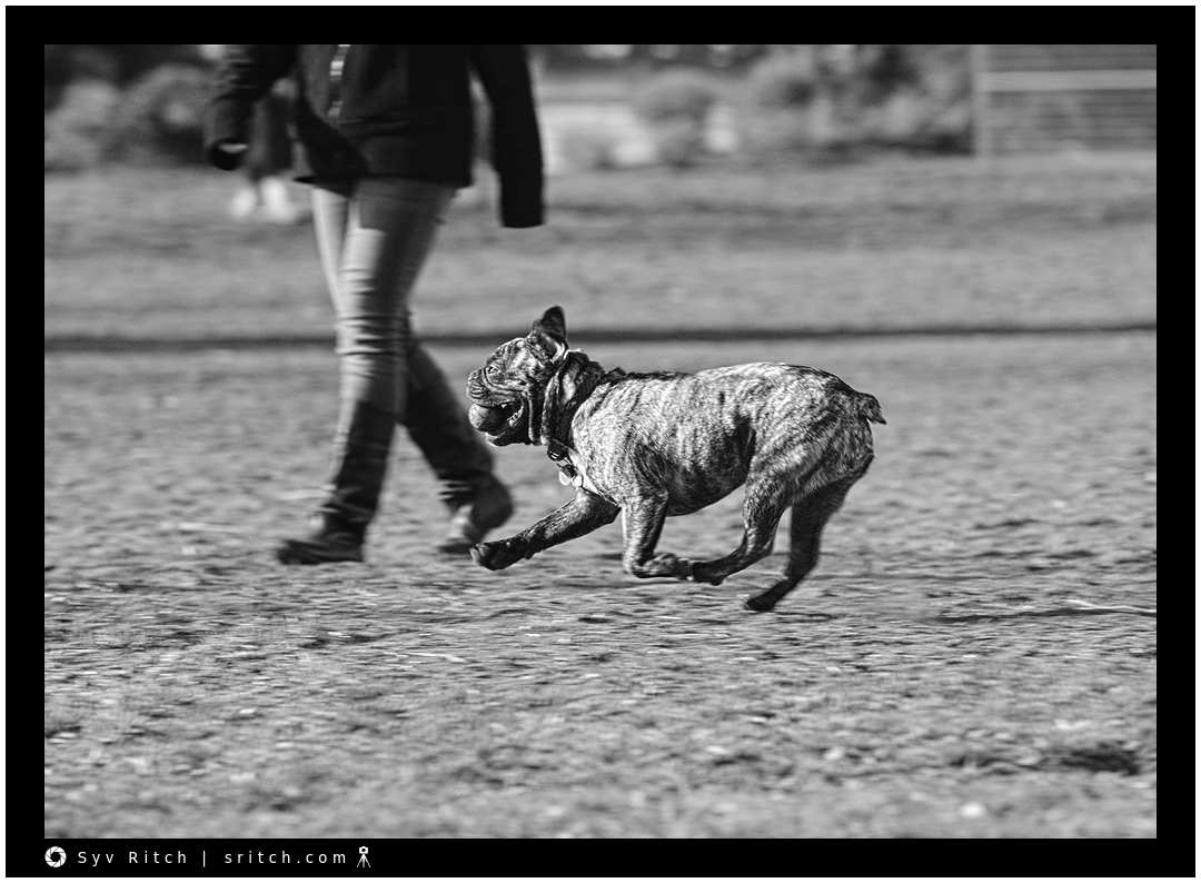 Frenchie running with his ball