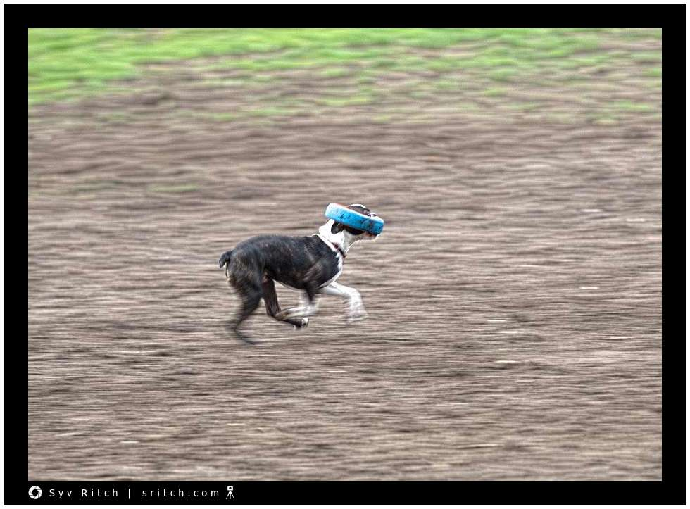 Boston Terrier carrying a small tire