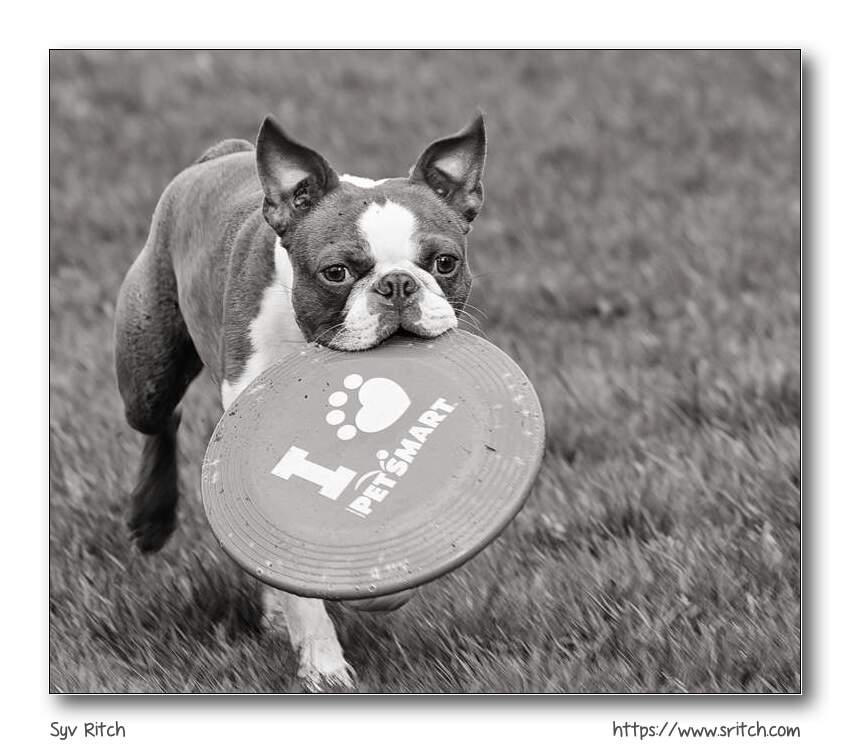 Frenchie with frisbee almost as big as him