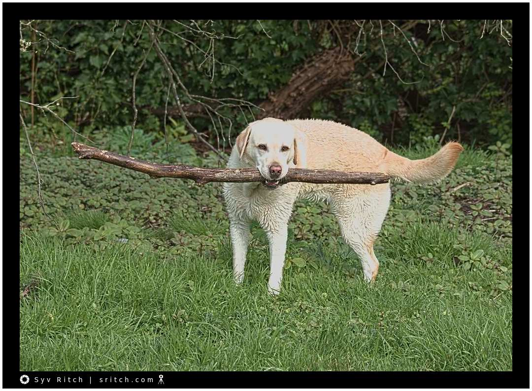 White Labrador showing off her prize