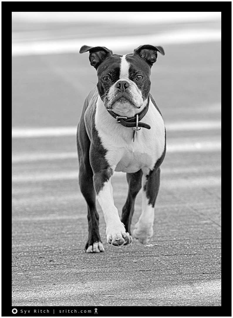 Boston Terrier Running: Vancouver, BC