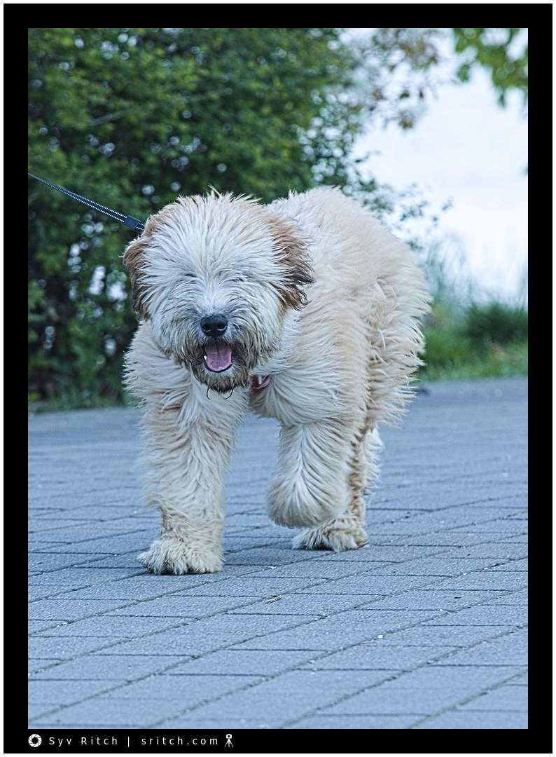 Big fuzzy dog, all fluff and no eyes...: Vancouver, BC
