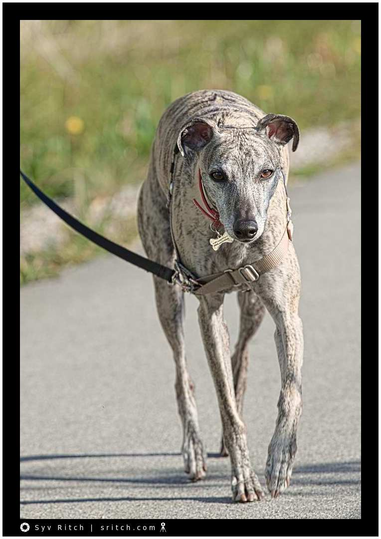 Oliver is a Mexican Greyhound: Vancouver, BC