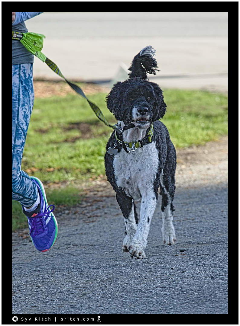 Dog jogging with both leash and Halti: Vancouver, BC