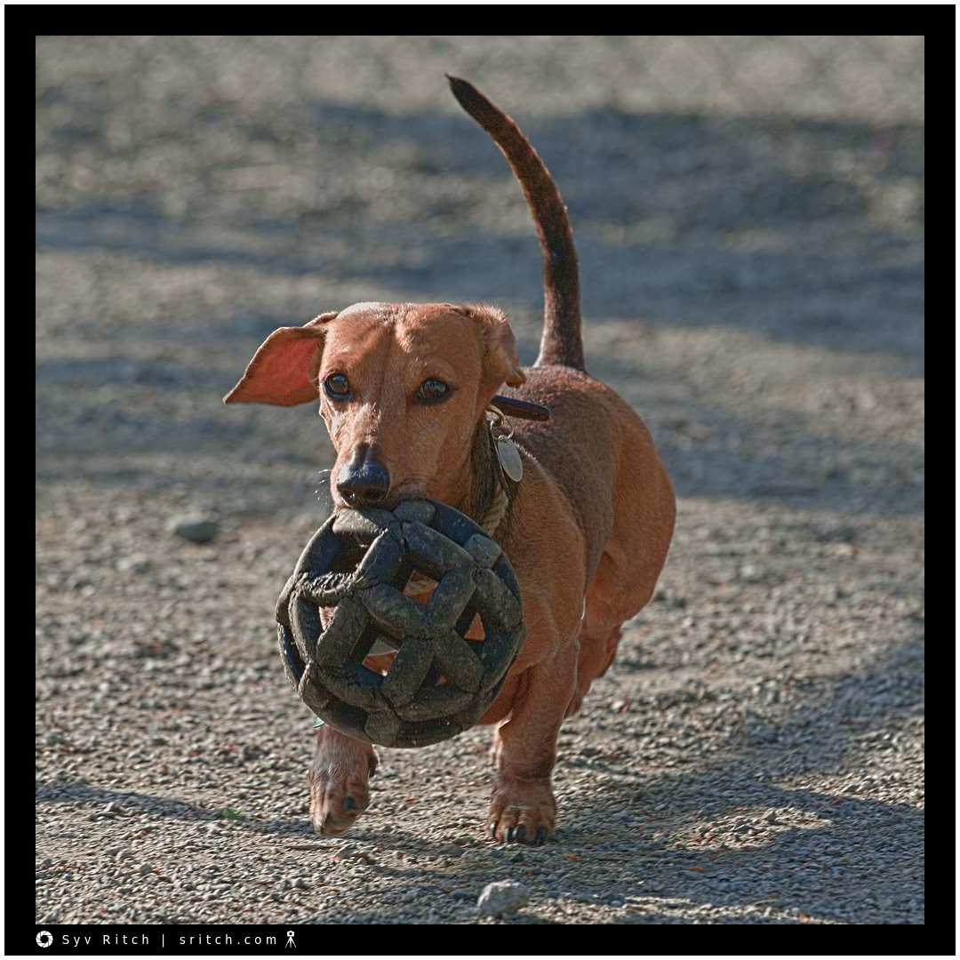 Fred, a Daschund, never runs after the ball