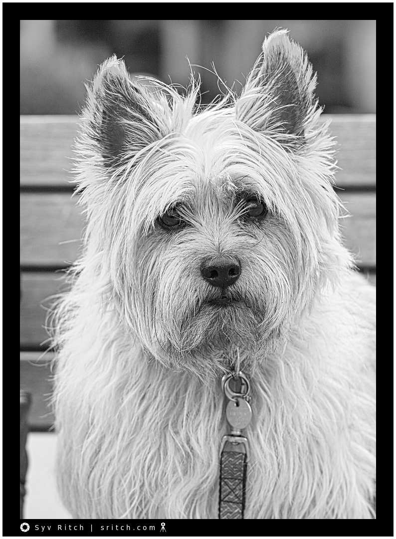 The look, the eyes of a Cairn Terrier