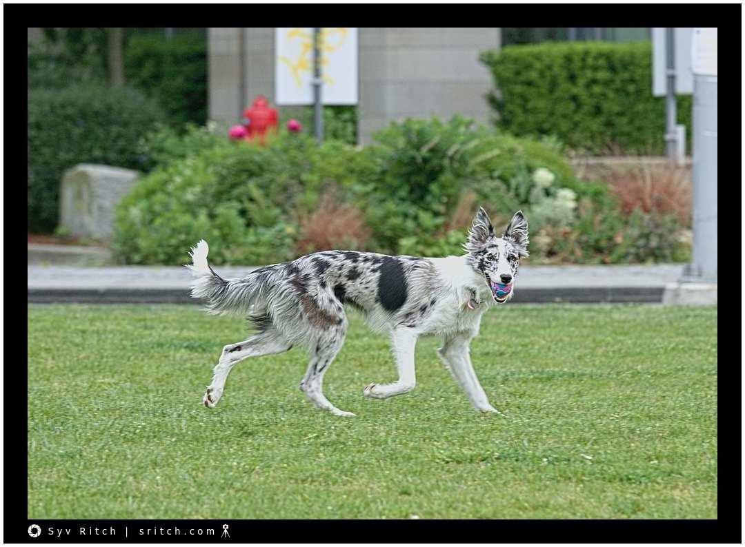 Dog running around with her ball