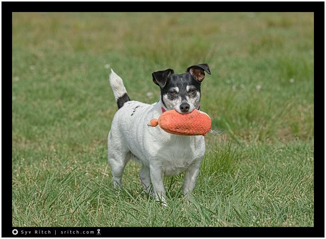 Jack Russell with Rubber Shoe: Vancouver, BC