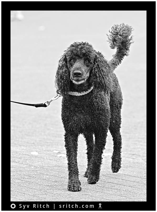 A Black Poodle Passing By: Vancouver, BC