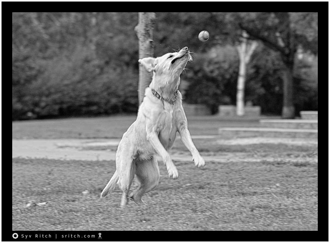 Dog running and jumping to catch is ball