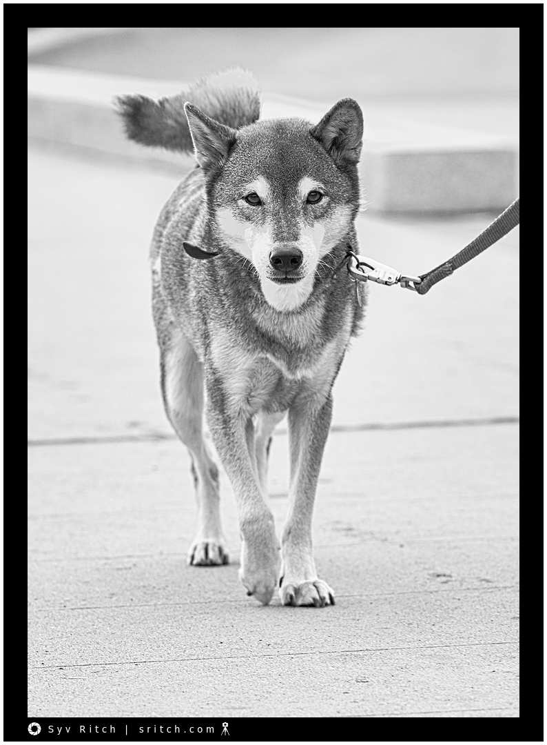 Shiba Inu walking around downtown Vancouver, BC