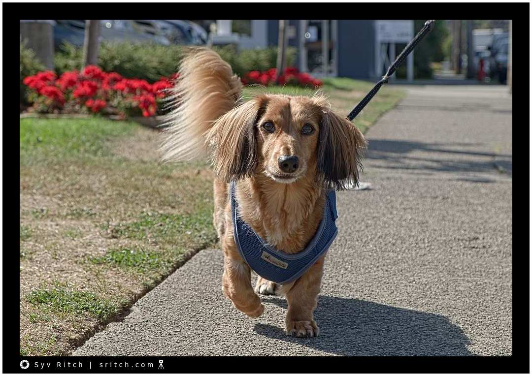 Charlie, the Sausage, aka a long haired Dachshund.