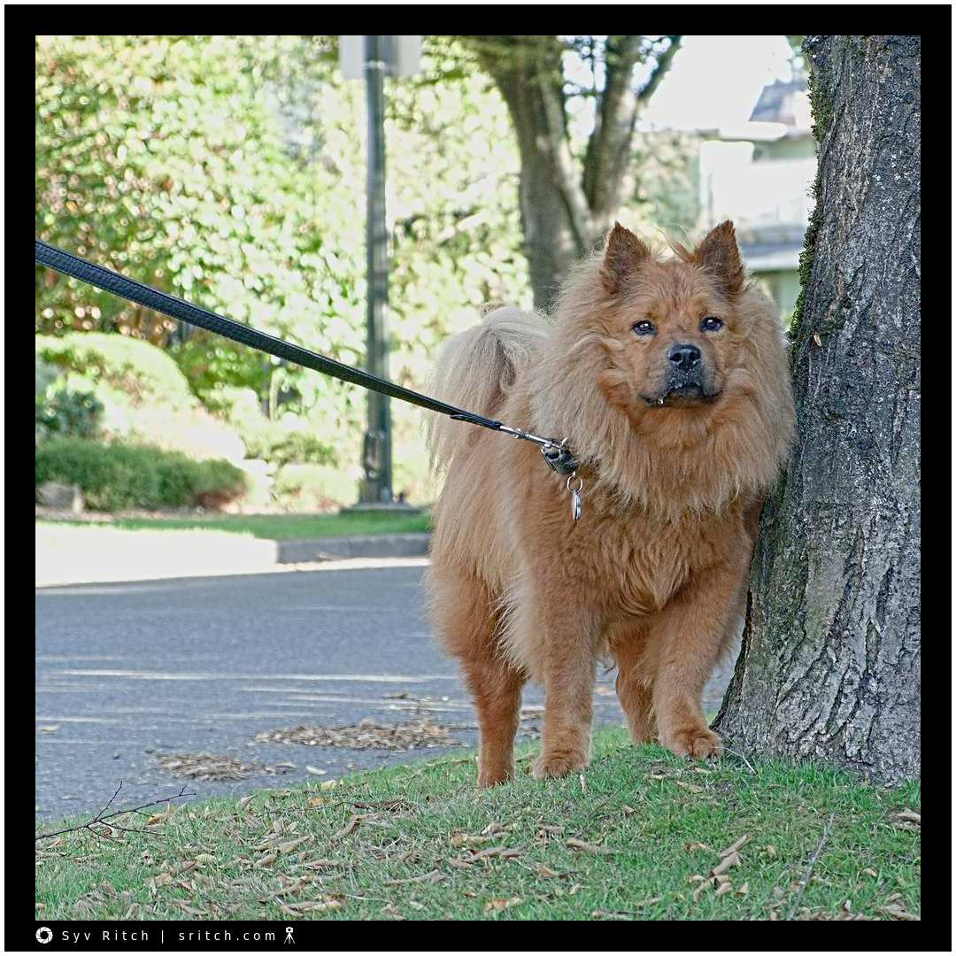 Young Chow Chow is wondering what the hell am I doing